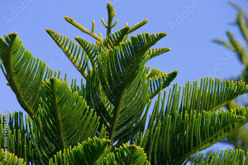 Fotografia, Obraz  Norfolk Waldkiefer - Pinus Sylvestris