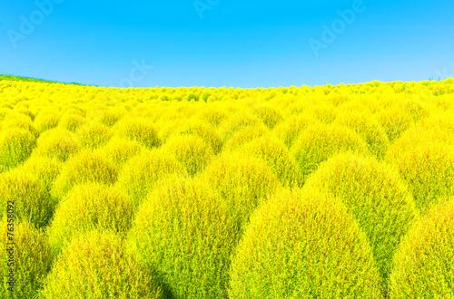 Poster Jaune Field of green Kochia