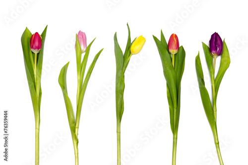 Foto op Plexiglas Tulp five colorful tulips on white background