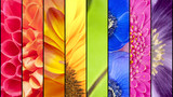 Fototapeta Tęcza - Collage of flowers in rainbow colors