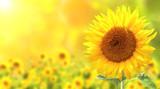 Fototapeta Kwiaty - Sunflowers