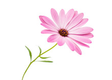 White And Pink Osteospermum Daisy Or Cape Daisy Flower Flower
