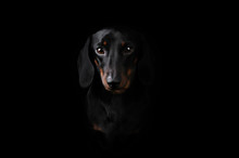 Black Dachshund Isolated On Bl...