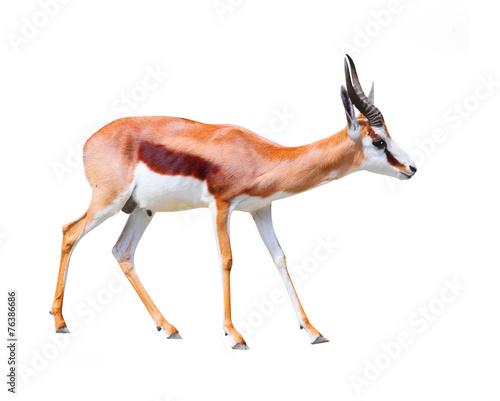 The Springbok Antelope (Antidorcas marsupialis). Wall mural