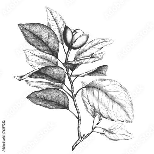 Valokuva  Magnolia engraving