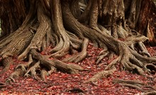 Roots And Red Foliage