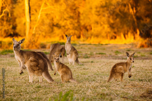 Papiers peints Kangaroo Herd of kangaroos at twilight