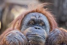 Orangutan Monkey Close Up Port...