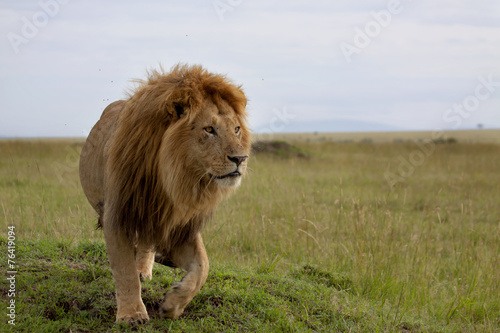The most beautiful Lion of the Masai Mara Wallpaper Mural