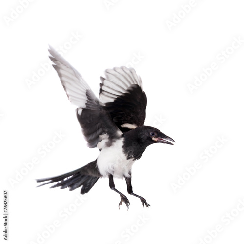 Common Magpie isolated on white Wall mural