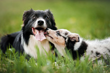 Old Dog Border Collie And Pupp...