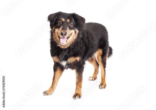 Photo  English Shepherd Cross Dog Standing