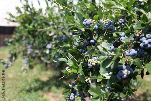 Fototapety, obrazy: Harvest-ripe blueberries at a bush