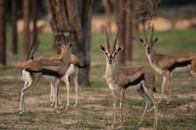 Thomson Gazelle Beautiful Posi...