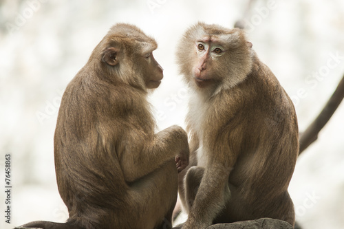 In de dag Pig-tailed macaque at Chiangmai zoo in Thailand