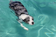 Swimming Dog - Border Collie