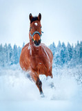 Chestnut horse run gallop in winter - 76481026