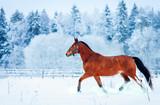 Chestnut horse run gallop in winter - 76481061