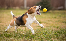 Playing Fetch With Cute Beagle...