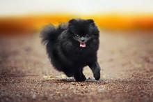 Black Pomeranian Spitz Puppy P...