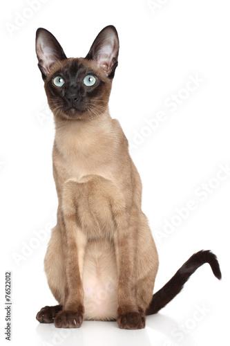 Fotografie, Obraz Oriental Siamese cat