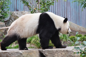 Fototapeta Giant Panda walking. Chinese panda bear.