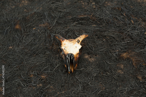 Fotografie, Obraz  Burnt Sheep Skull