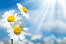 Three Daisies On A Background ...