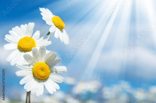 Foto op Canvas Madeliefjes Three daisies on a background of the sky
