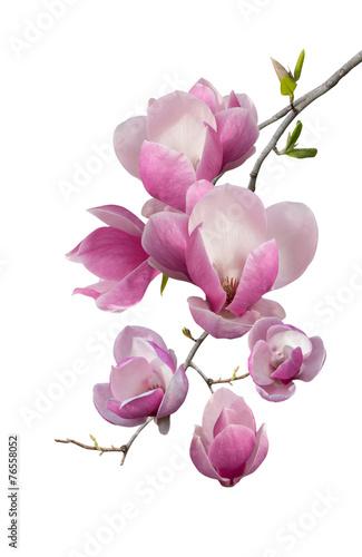 Foto op Plexiglas Magnolia Flowering branch of magnolia