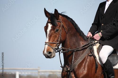 La pose en embrasure Equitation Brown horse portrait during horse show