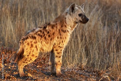 Deurstickers Hyena Hyena cub portrait