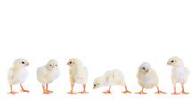 Hühnerküken In Der Reihe