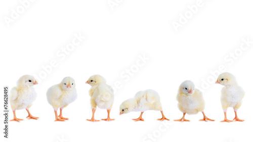 Fotografia  Hühnerküken in der Reihe