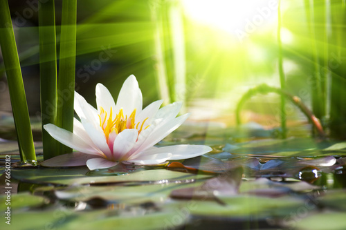 Deurstickers Lotusbloem lotus flower