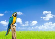 Macaw Bird With Green Grass Fi...