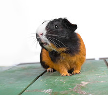 Portrait Of Guinea Pig Stay On Feet And Hod On Hand