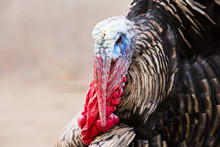 Portrait Of Angry Thanksgiving...