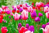 Pole tulipanów