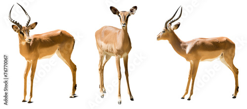 Set of impalas. Isolated on white