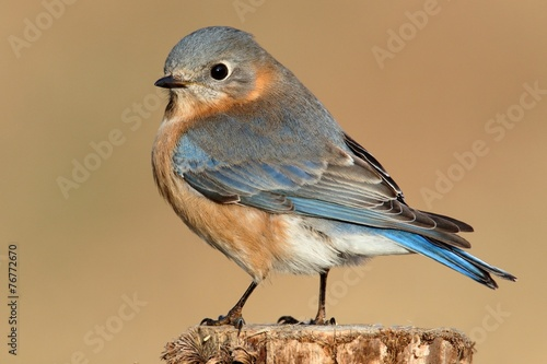 Aufkleber - Female Eastern Bluebird