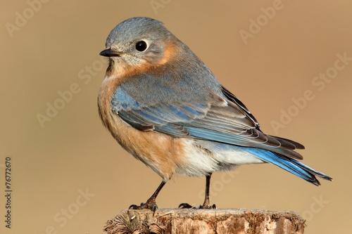 Sticker - Female Eastern Bluebird