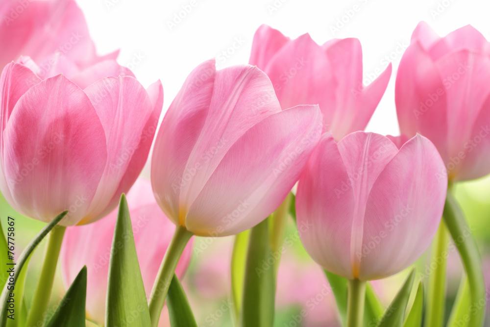 Fototapety, obrazy: Świeże tulipanowe kwiaty