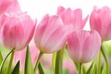 Fototapeta Tulips - Fresh tulip flowers