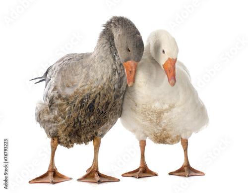 Carta da parati goose