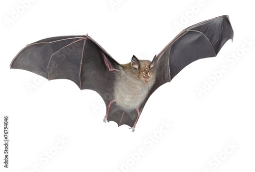 Fotografering Horseshoe bat isolated