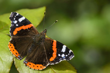 Red Admiral Butterfly, Vanessa...