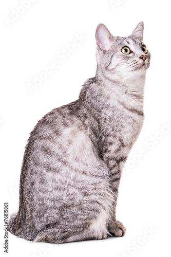 Keuken foto achterwand Kat gray tabby cat