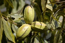 Pecan Tree Nuts And Leaves