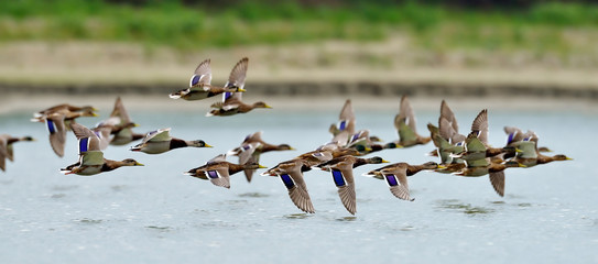 wild ducks flying over the lake